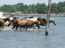 Ponies in the water
