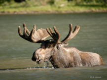Large bull moose having a meal