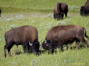 Two bison butt heads practicing for later in the year
